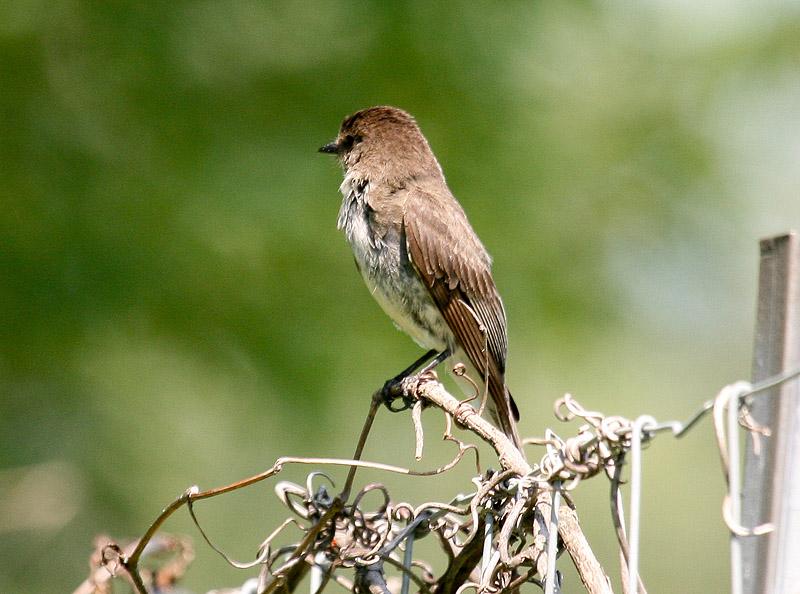 Pouvez-vous m'aider a identifier cet oiseau Img_3511