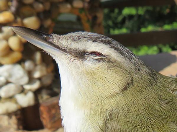 Oiseau mort aide identification Merci  Img_6010