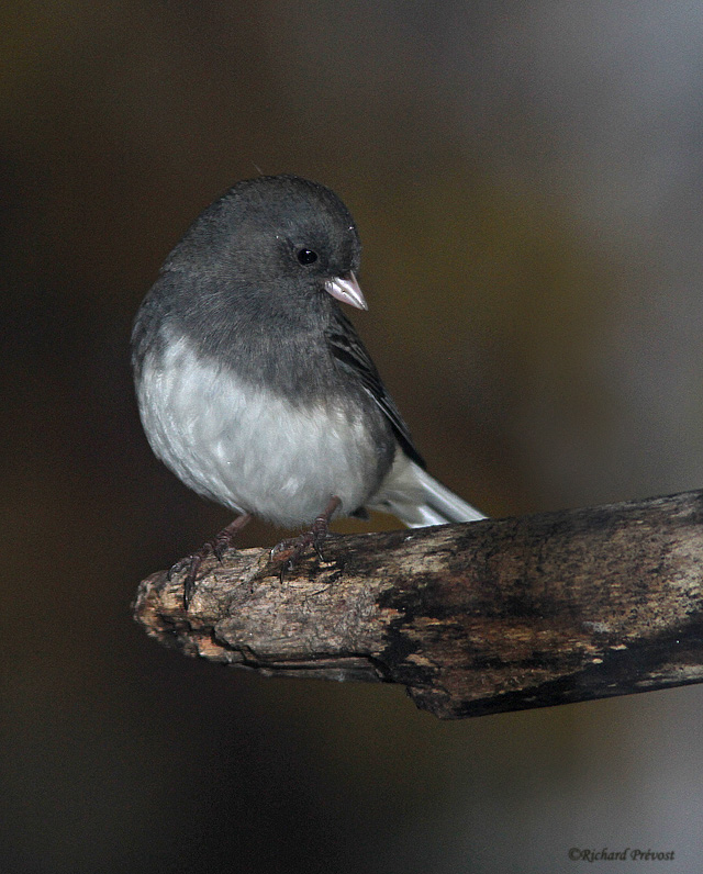 Junco ardoisé Junco_11