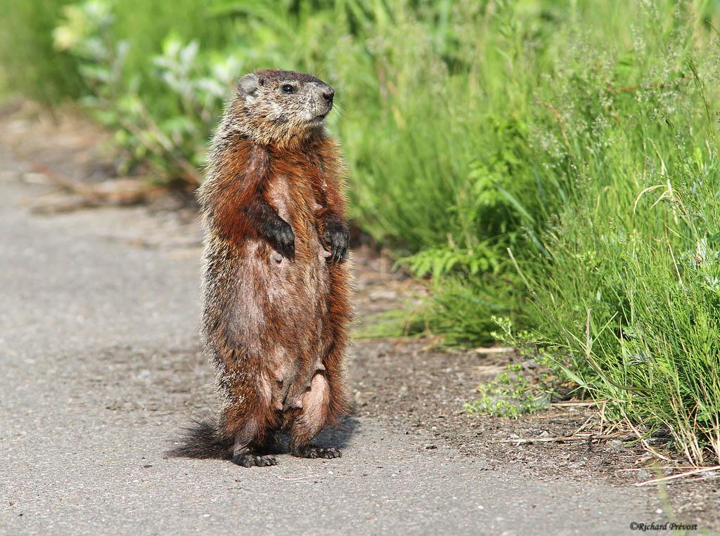 Marmotte Marmot10