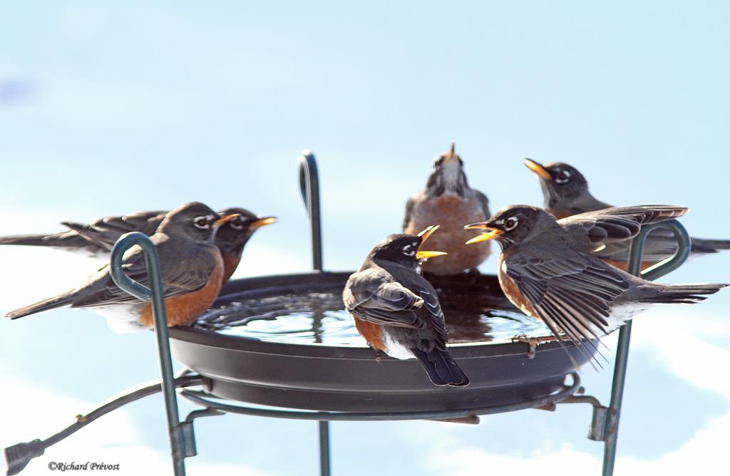 Bol chauffant pour oiseaux  Merles13