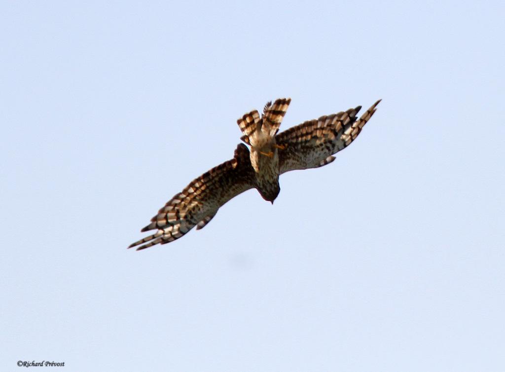 Pouvez-vous identifier ce rapace? Oiseau14