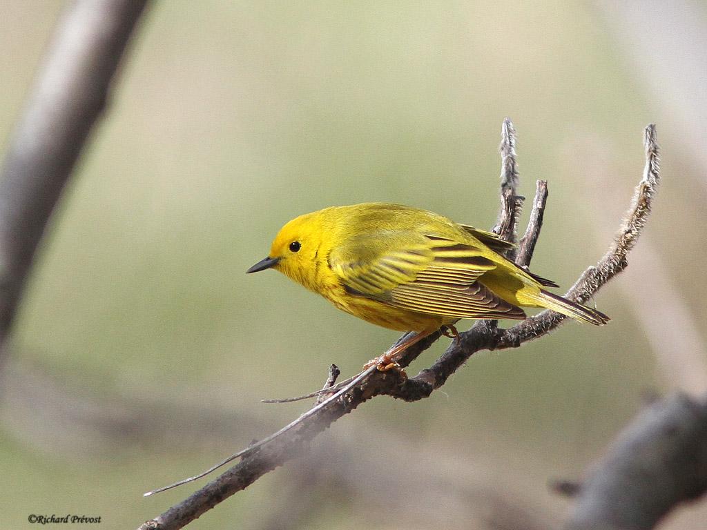 Paruline jaune Paruli30