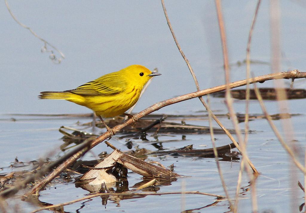Paruline jaune Paruli31