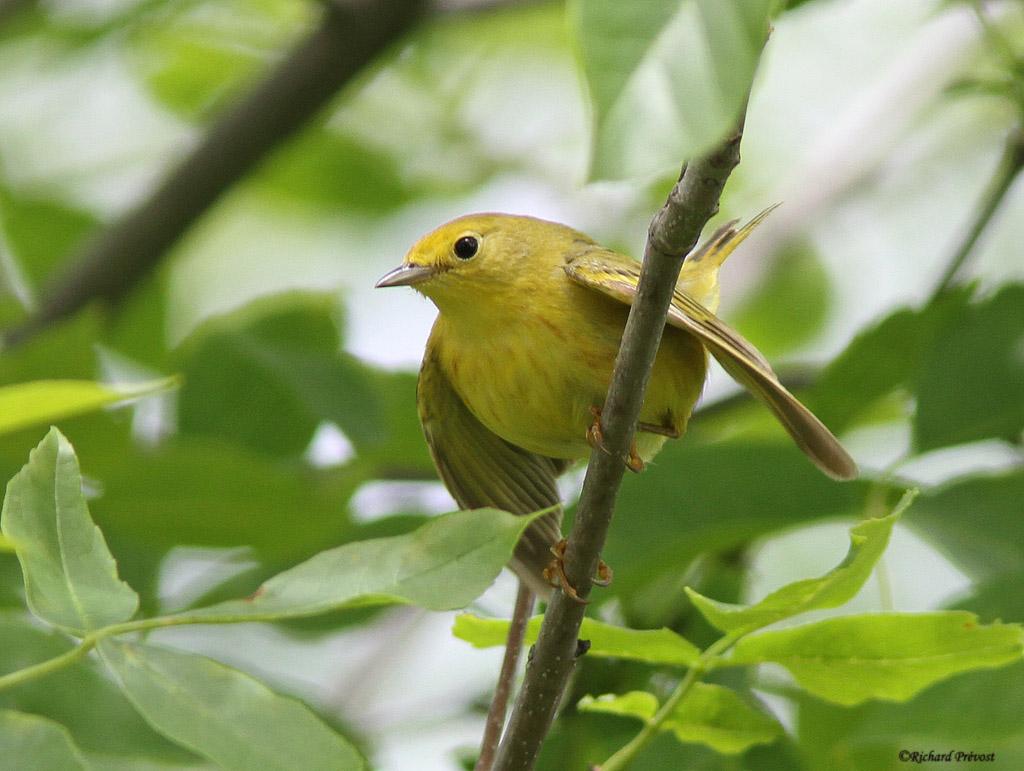 Paruline jaune mâle et femelle Paruli68