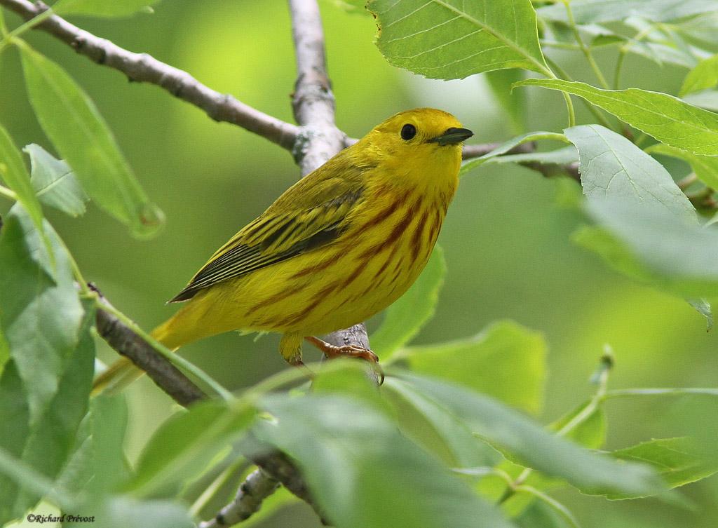 Paruline jaune mâle et femelle Paruli69