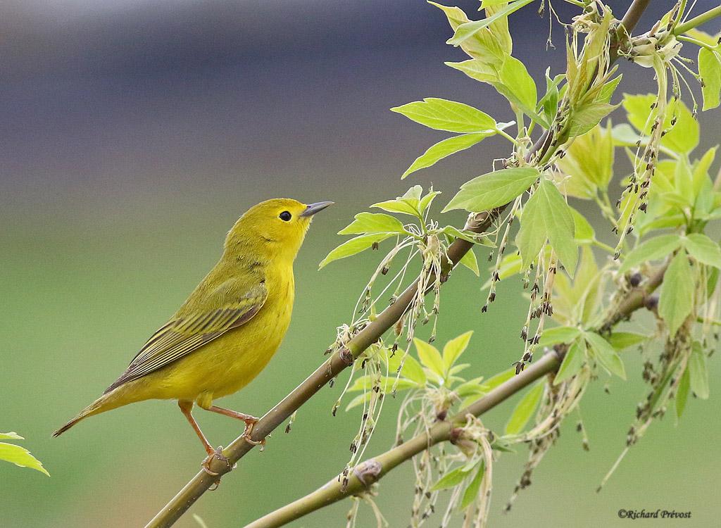 Paruline jaune femelle adulte Paruli78