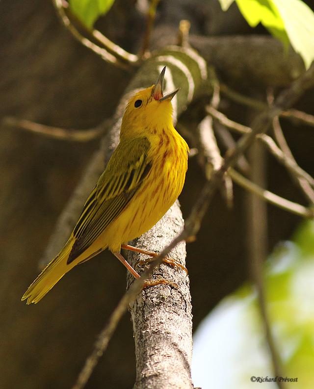 Paruline jaune mâle Paruli81