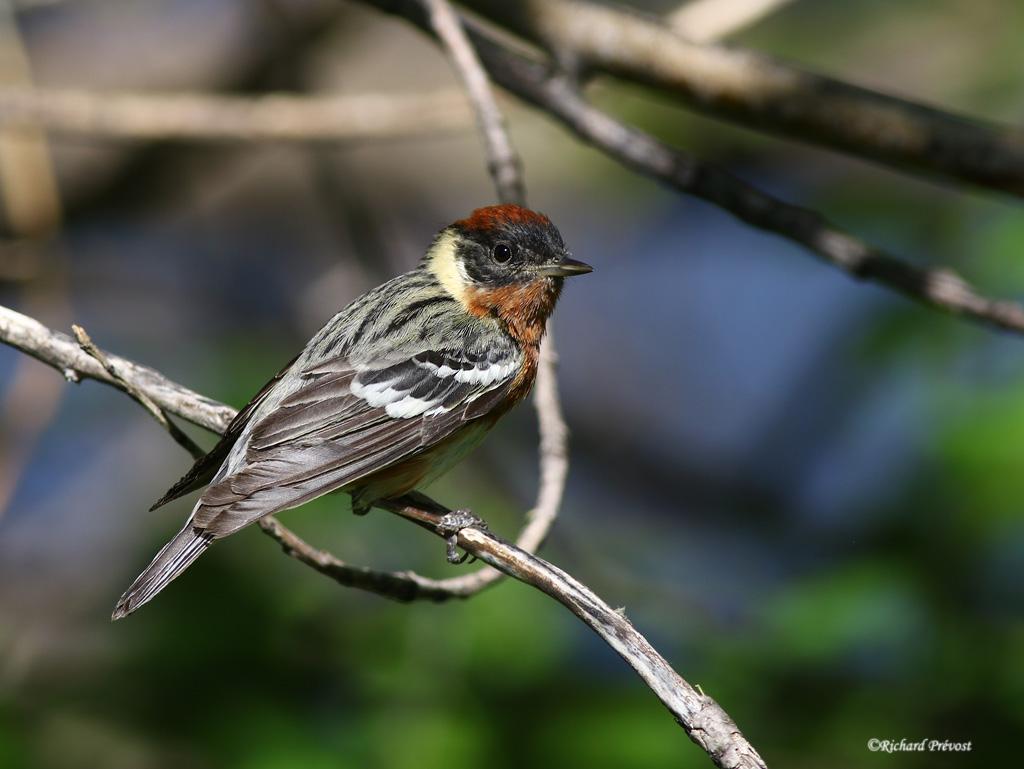 Paruline à poitrine baie mâle Paruli83