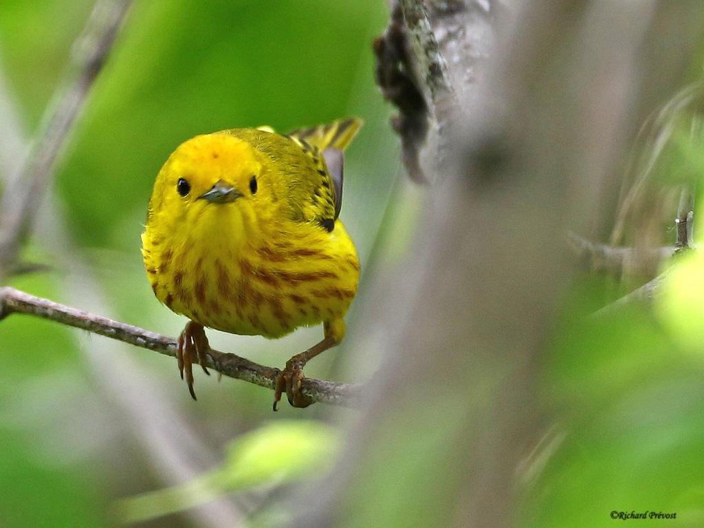 Paruline jaune mâle Paruli85