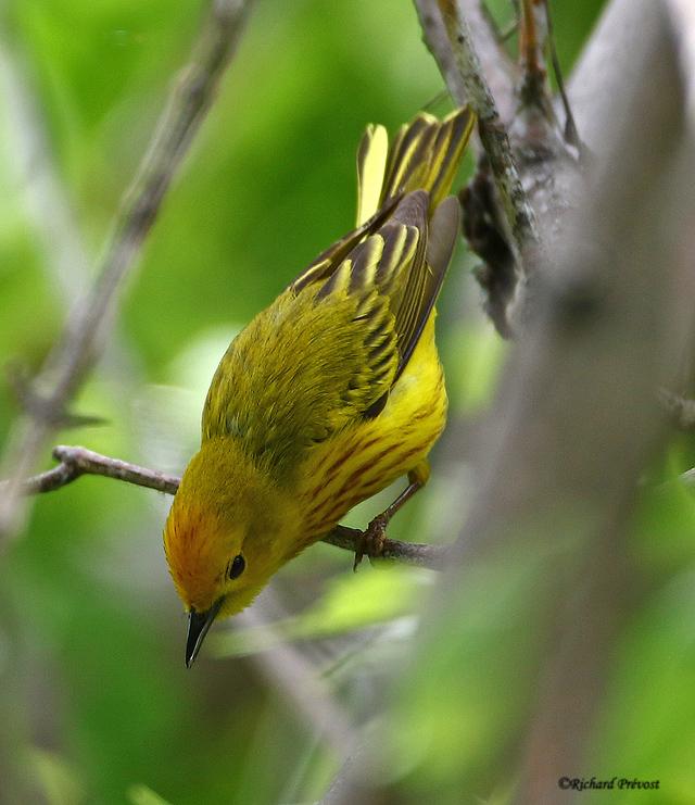 Paruline jaune mâle Paruli86