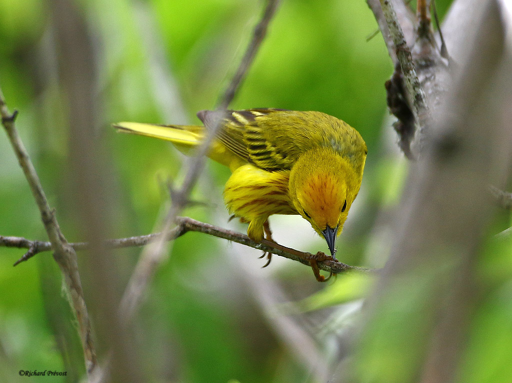 Paruline jaune mâle Paruli87
