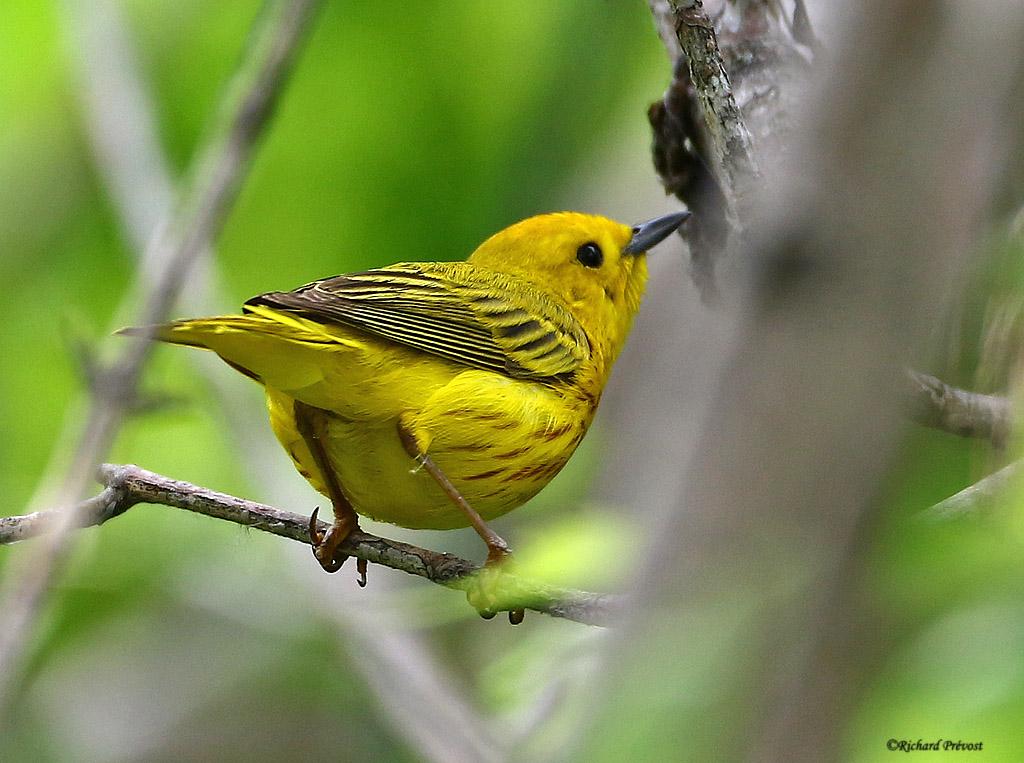 Paruline jaune mâle Paruli88