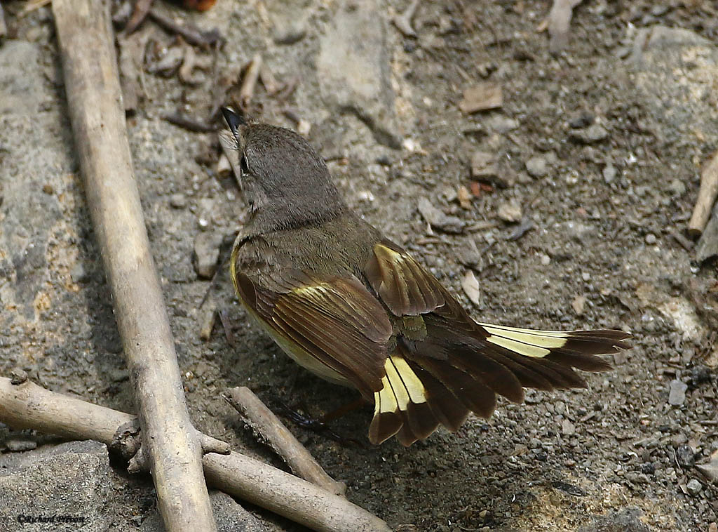 Paruline flamboyante mâle et femelle Paruli91