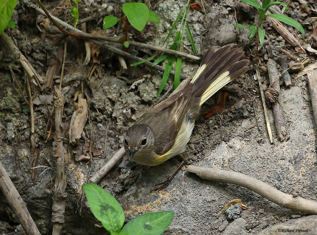 Paruline flamboyante mâle et femelle Paruli92