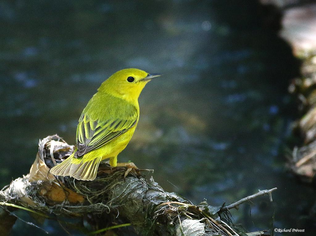 Paruline jaune femelle Paruli97
