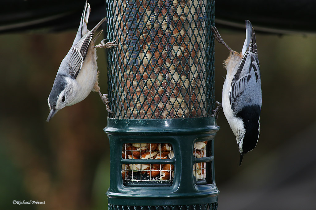 Sitelle le à poitrine blanche mâle et femelle Sitell41