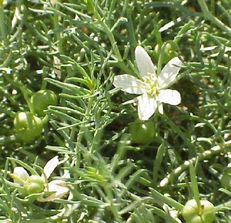 Гармала обыкновенная (Peganum harmala ) 29637910