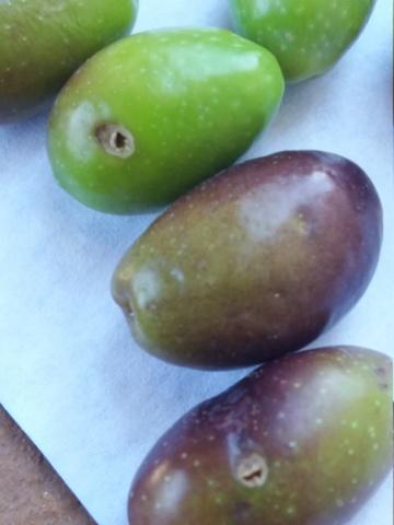 ¿Qué variedad son estos olivos? (Croacia) 20180918