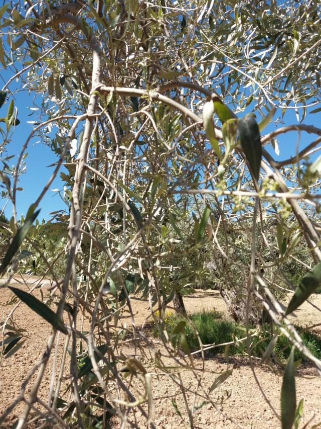 Problema de defoliación en olivos (Mallorca) 20190515