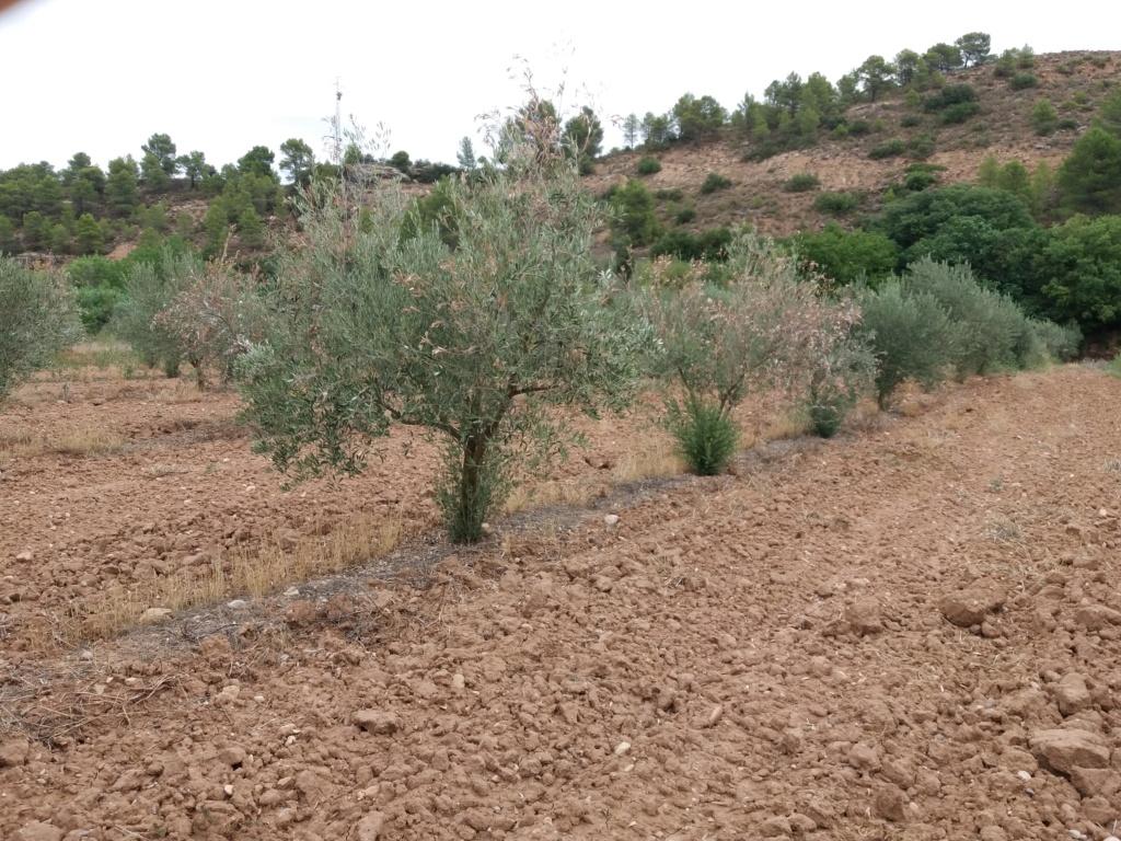 Verticillium? (Teruel) 20190813