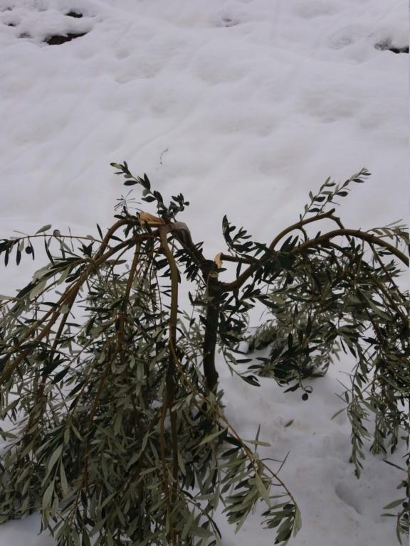 ¿Qué le pasa a mi olivo? 20200115