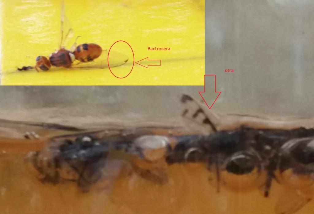 Trampas para mosca del olivo - Página 2 20210810