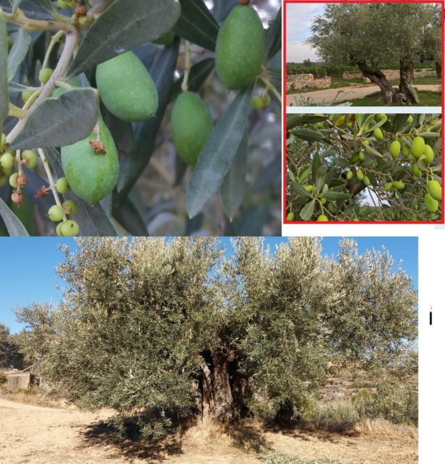 ¿Qué variedad son estos olivos? (Croacia) Empelt11