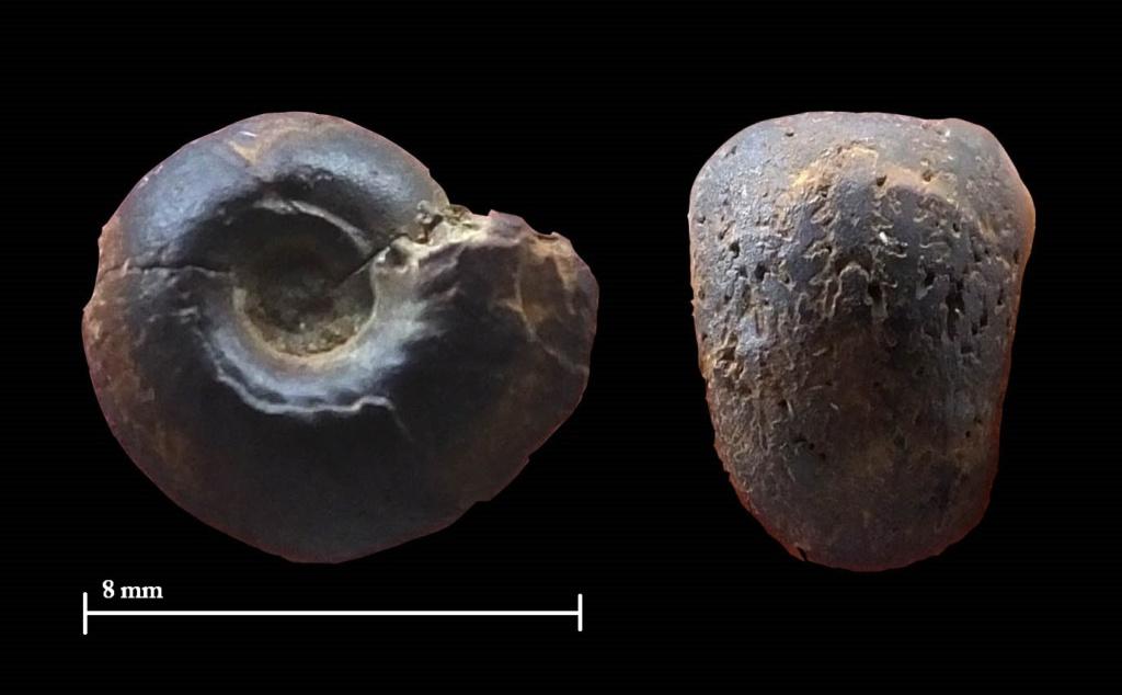 Pequeños ammonites Valanginiense Nuevo_13