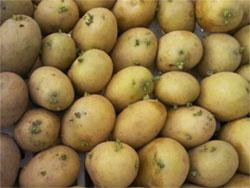 الدرنة و البطاطا و النشويات Pdt-do10