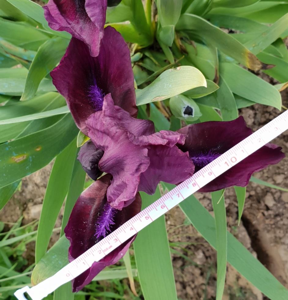 iris miniature 14_che10