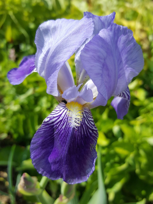 "Iris ""mauvaise herbe"" sans nom 47_pen10"