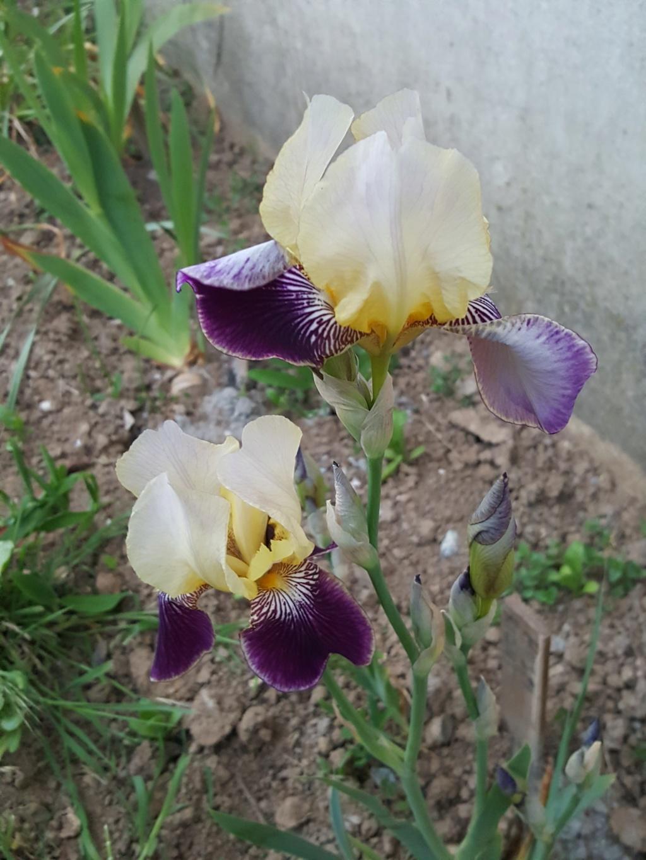 "Iris ""mauvaise herbe"" sans nom 76_ai_11"