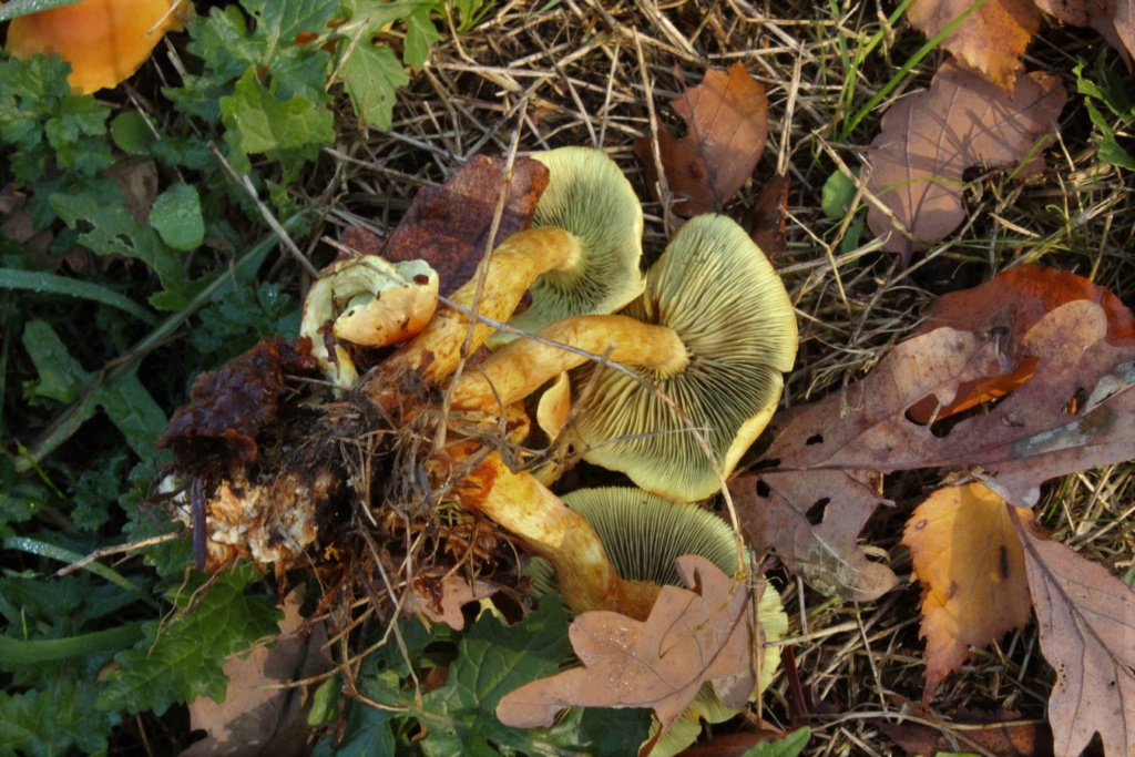 [fil ouvert] les champignons - Page 11 Img_4525