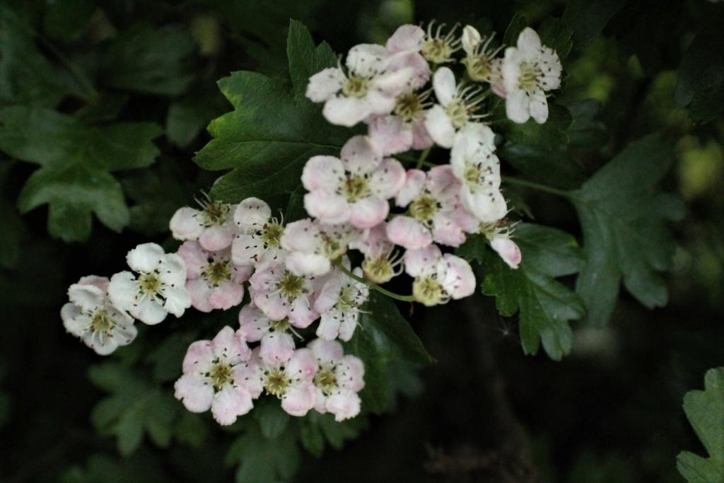 [Fil ouvert] Fleurs et plantes - Page 15 Img_8648