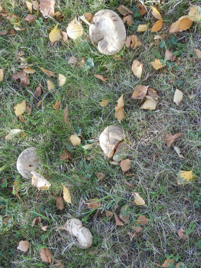 [fil ouvert] les champignons - Page 9 Pa100013