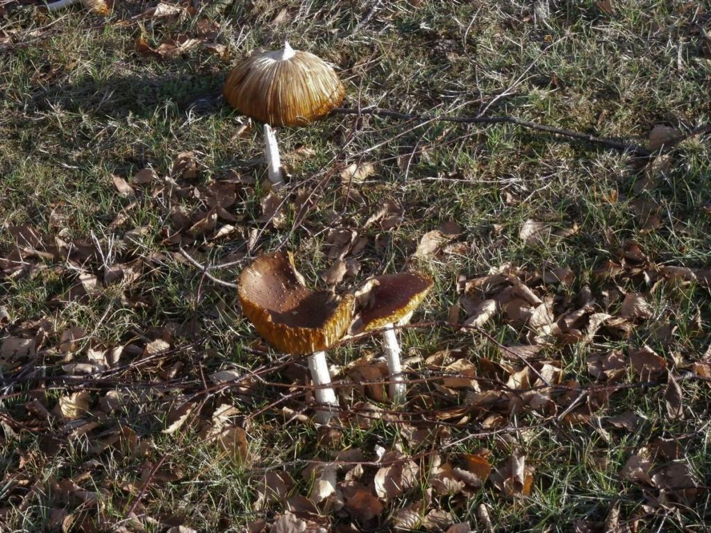 [fil ouvert] les champignons - Page 12 Pc120011