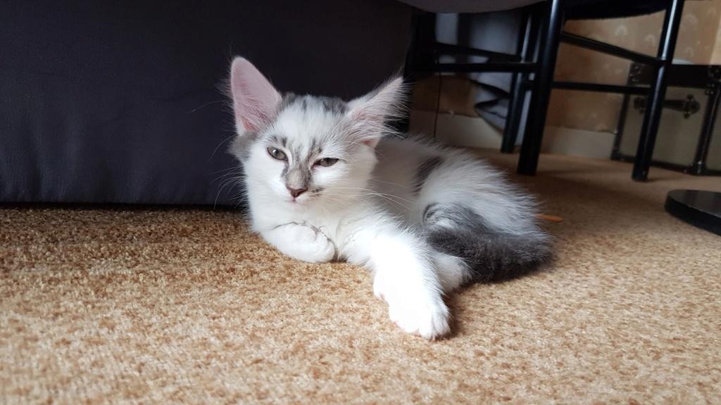 Onyxe, femelle européenne blanche et grise, née le 22 avril 2018 20180713