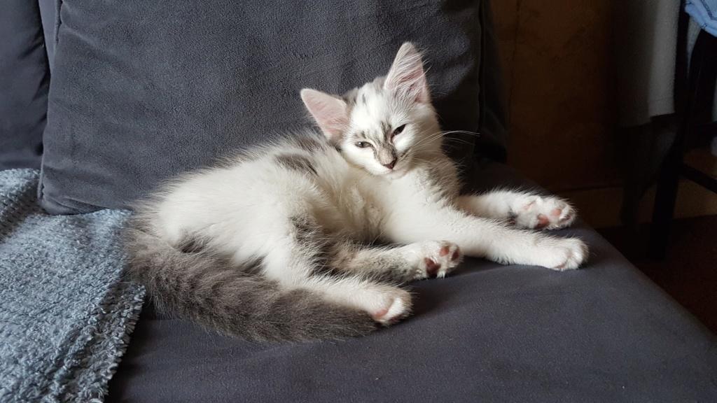 Onyxe, femelle européenne blanche et grise, née le 22 avril 2018 20180716