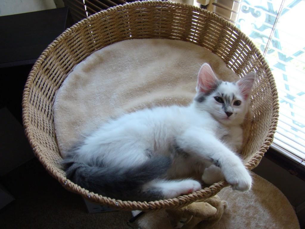 Onyxe, femelle européenne blanche et grise, née le 22 avril 2018 Dsc03413