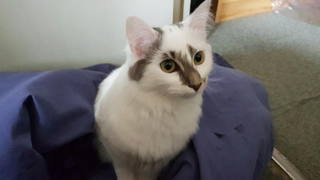Onyxe, femelle européenne blanche et grise, née le 22 avril 2018 - Page 2 Onyxe-29