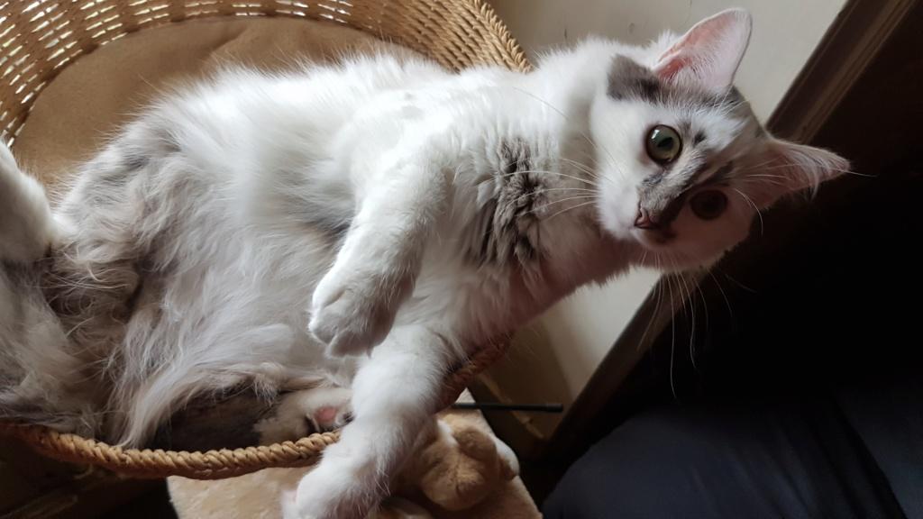 Onyxe, femelle européenne blanche et grise, née le 22 avril 2018 - Page 2 Onyxe-30