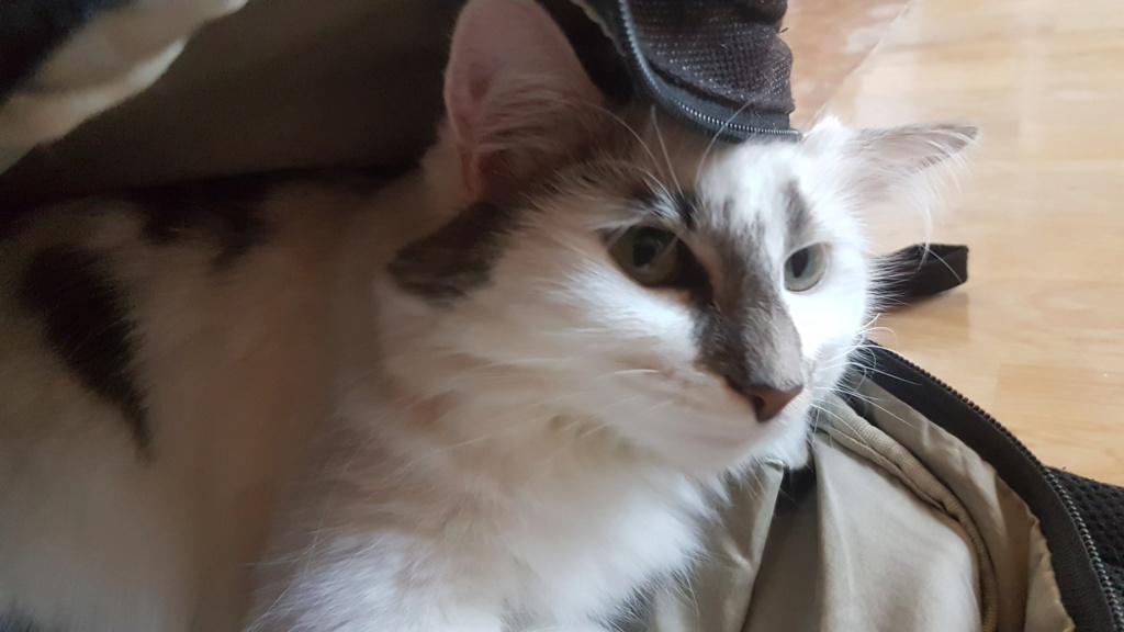 Onyxe, femelle européenne blanche et grise, née le 22 avril 2018 - Page 3 Onyxe-38