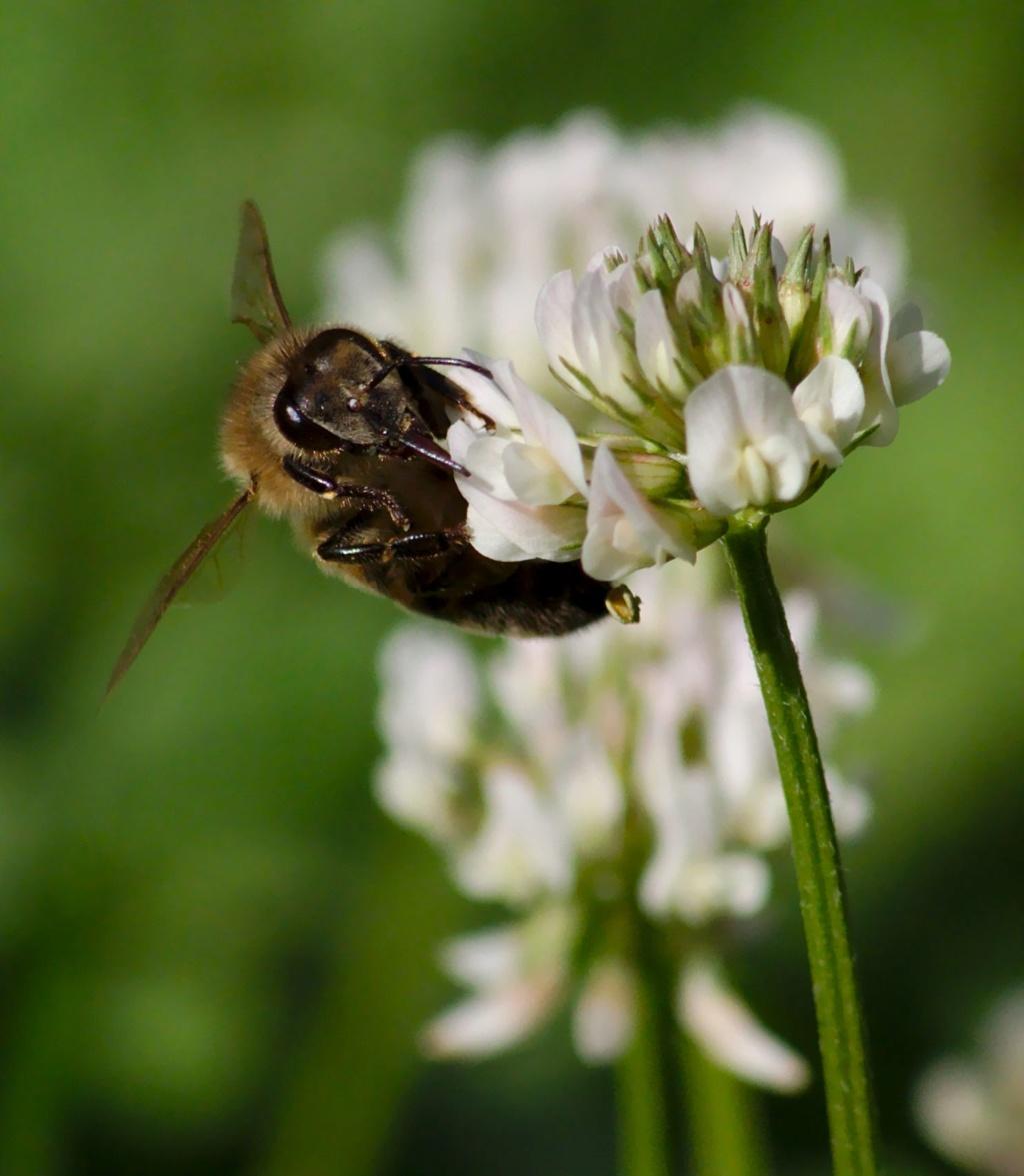 Les abeilles... les abeilles... P1012710