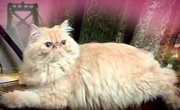 للبيع اجمل القطط البيكي فيس Captur10