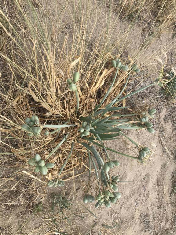 Plante bord de plage: Lys de mer : Pancratium Maritimimum F58d9410