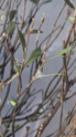 colpo di secco per bonsai mirto cinese Scherm10