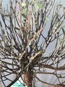 colpo di secco per bonsai mirto cinese Whats-11