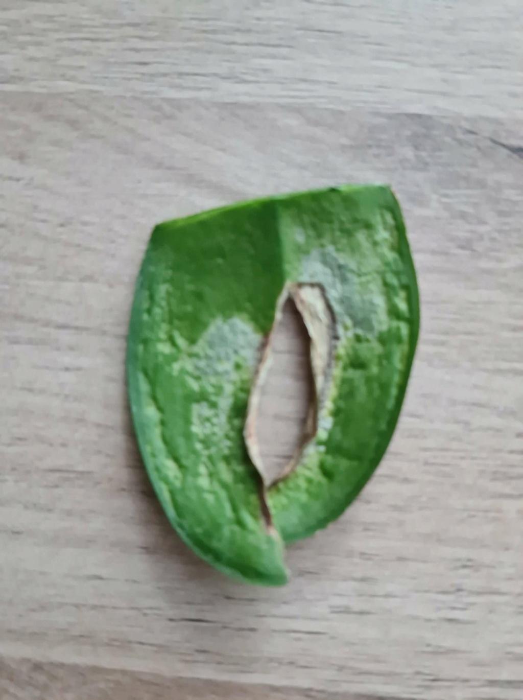 Phaleanopsis - feuille tâchée Phalea10
