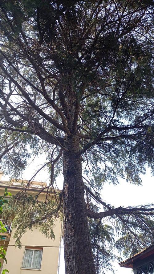 Cedro del Libano malato 20210911
